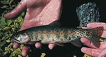 Greenback Cutthroat Trout 写真はwikipediaから引用しました